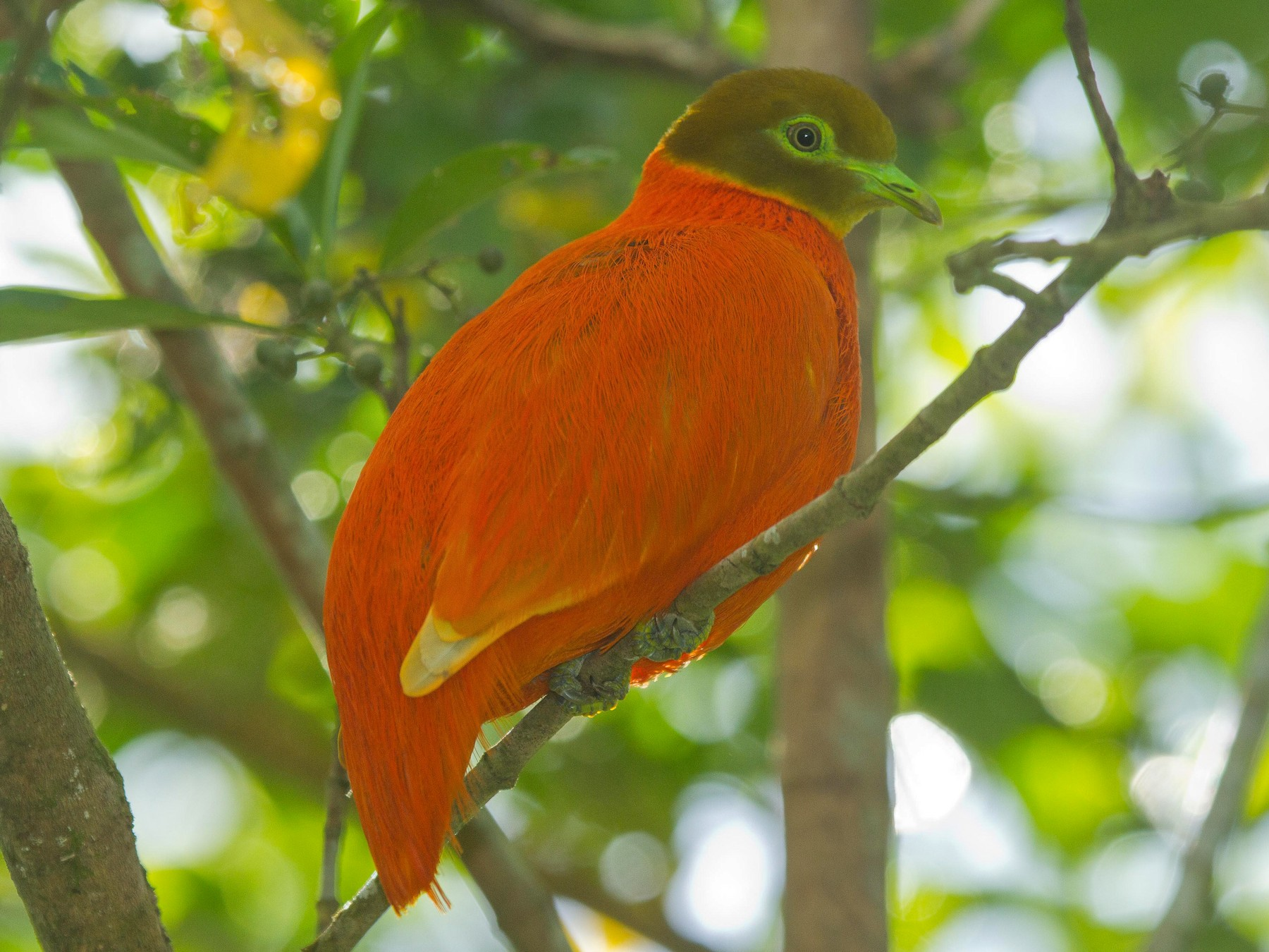 Orange Dove - Eric VanderWerf