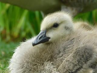 Canada Goose (moffitti/maxima), ML340005461