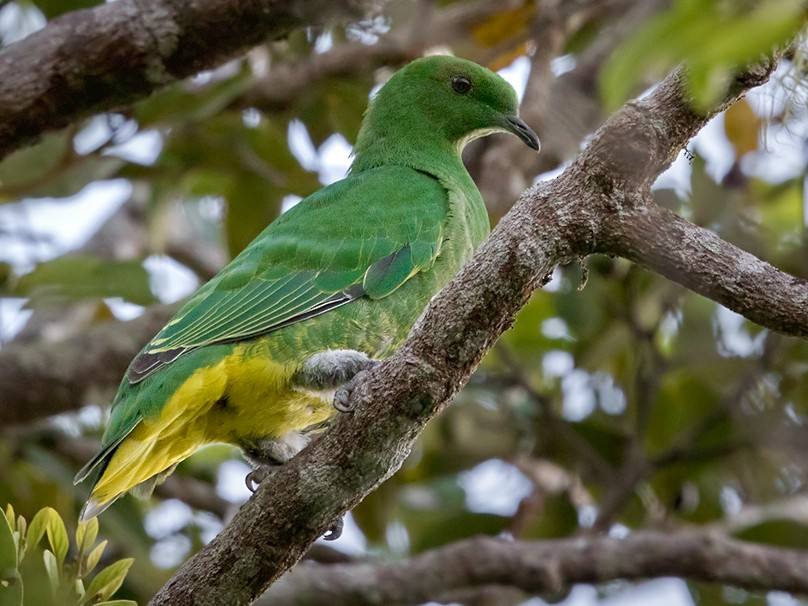 Cloven-feathered Dove - Lars Petersson