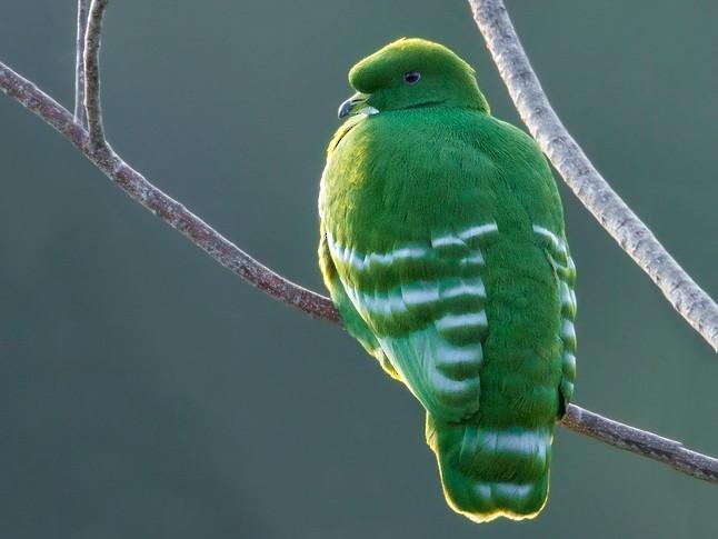 Cloven-feathered Dove - Dubi Shapiro