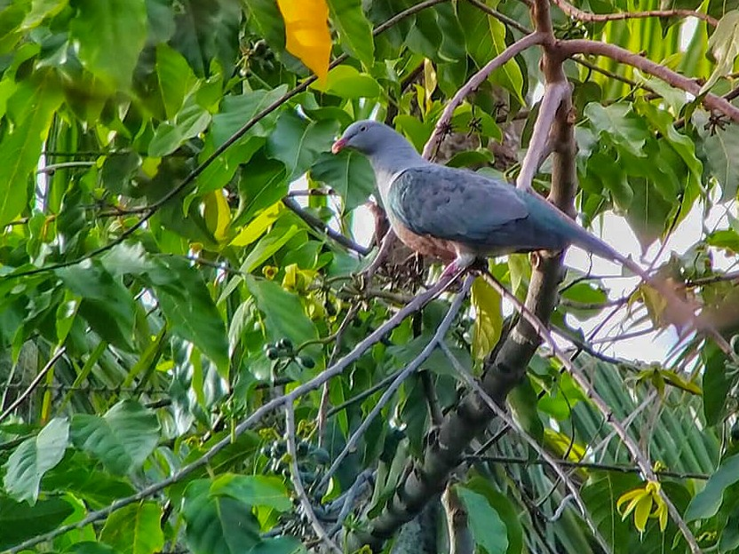 Spotted Imperial-Pigeon - Adrian Constantino
