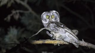 Boreal Owl, ML340767411