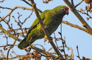 - Tucuman Parrot