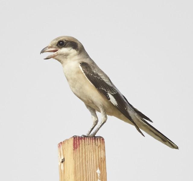 Lesser Gray Shrike