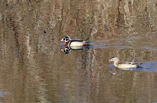 Wood Duck, ML342199251
