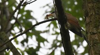 Yellow-billed Cuckoo, ML342774731