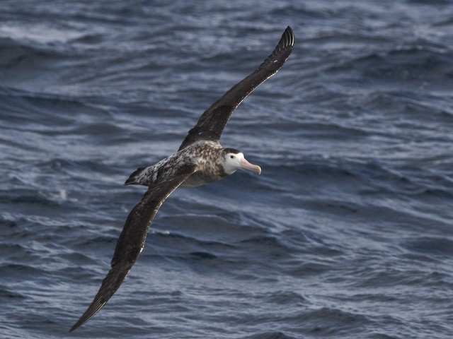 Wandering Albatross (New Zealand)