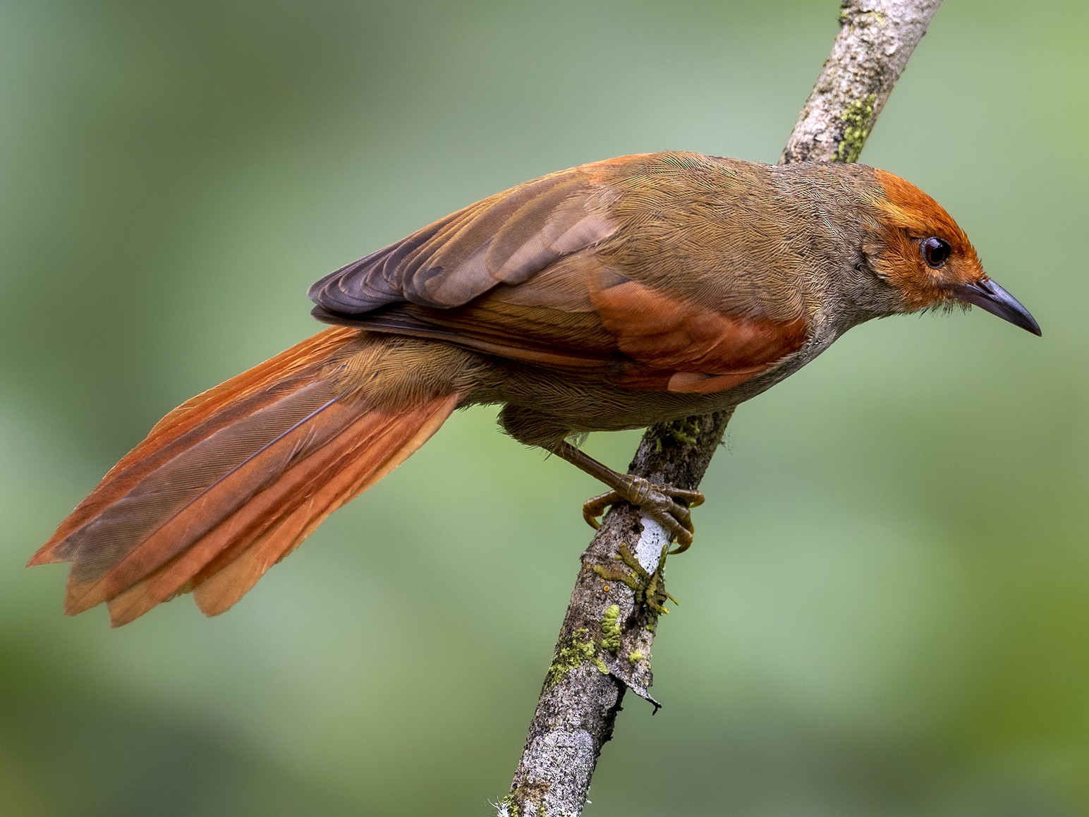 Red-faced Spinetail - Andres Vasquez Noboa - Tropical Birding Tours