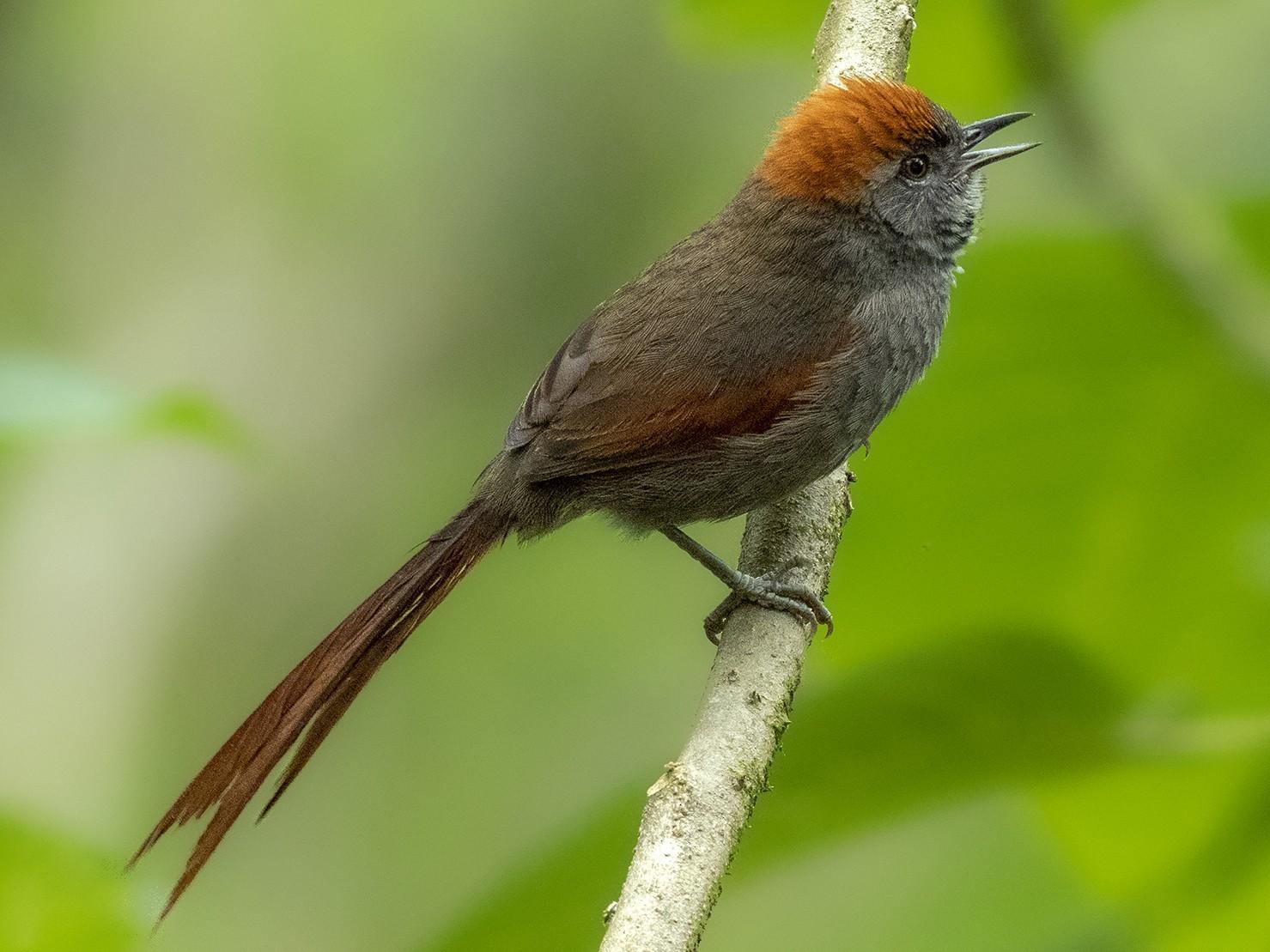 Azara's Spinetail - Andres Vasquez Noboa - Tropical Birding Tours