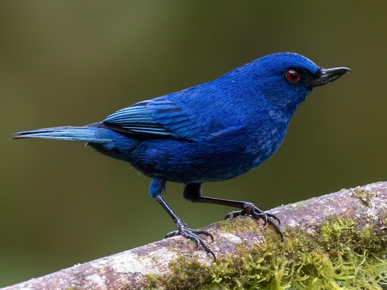 Indigo Flowerpiercer - Andres Vasquez Noboa - Tropical Birding Tours