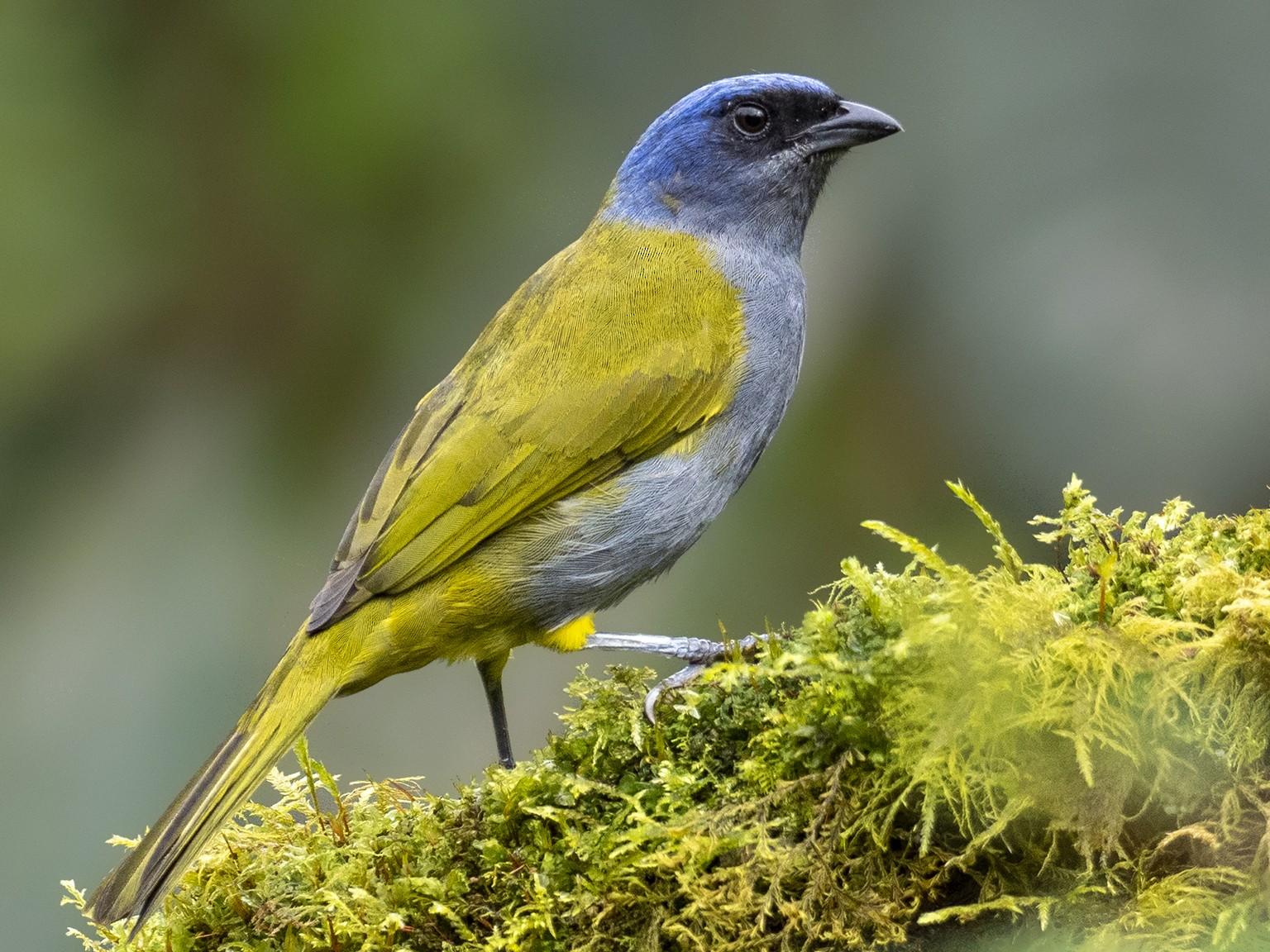 Blue-capped Tanager - Andres Vasquez Noboa - Tropical Birding Tours