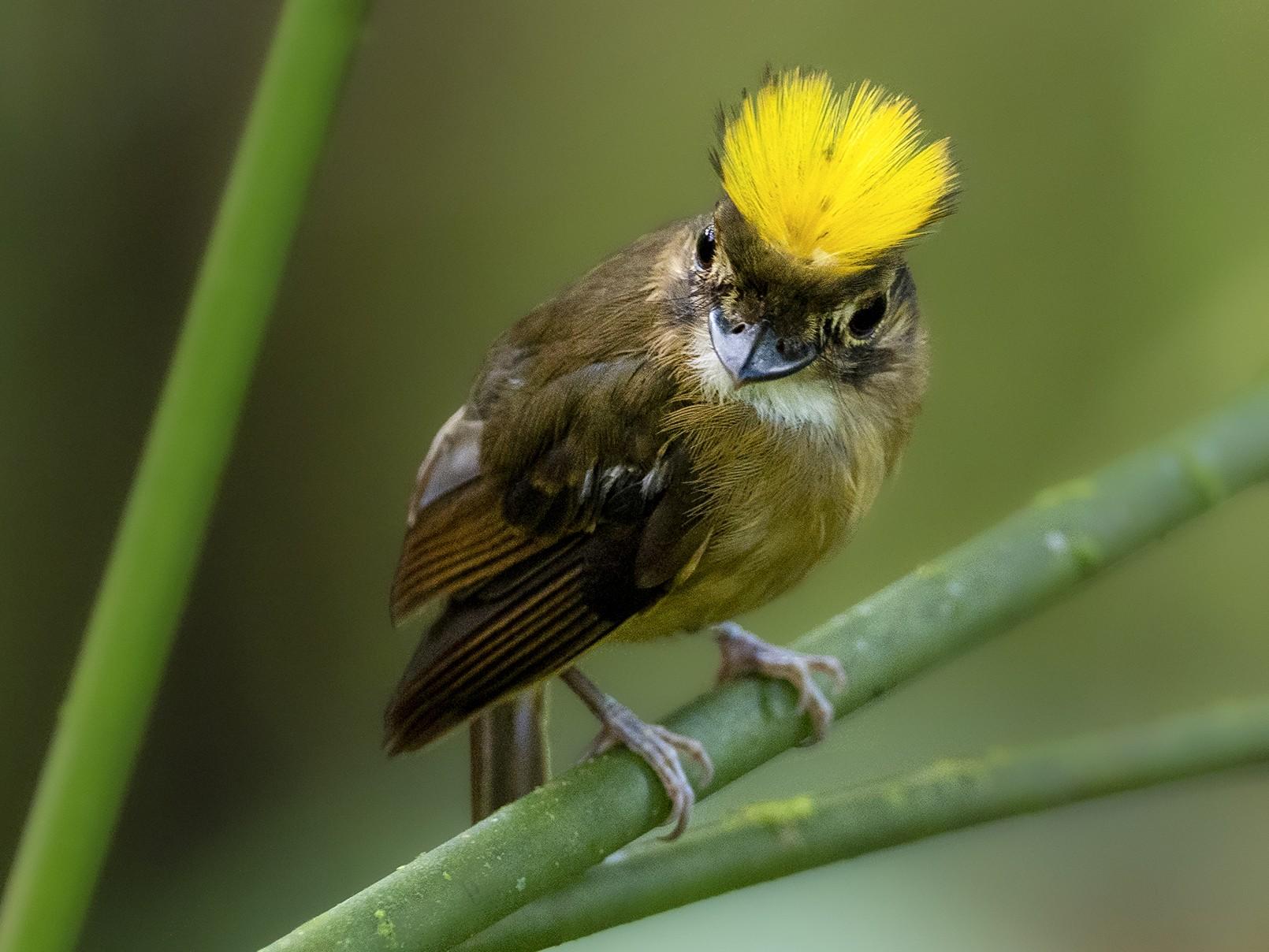 White-throated Spadebill - Andres Vasquez Noboa - Tropical Birding Tours