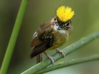 - White-throated Spadebill