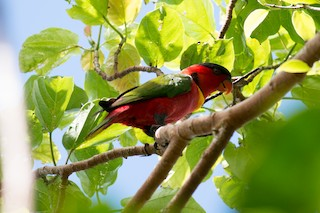 - Yellow-bibbed Lory