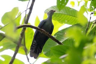 - Crested Cuckoo-Dove