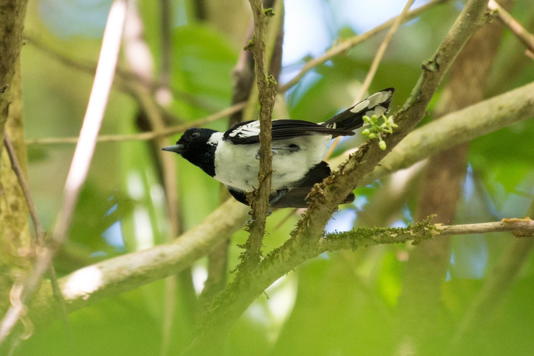 White-collared Monarch - John C. Mittermeier
