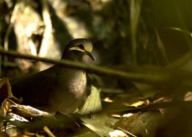 Olive-backed Quail-Dove