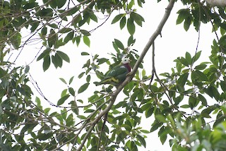 - White-headed Fruit-Dove