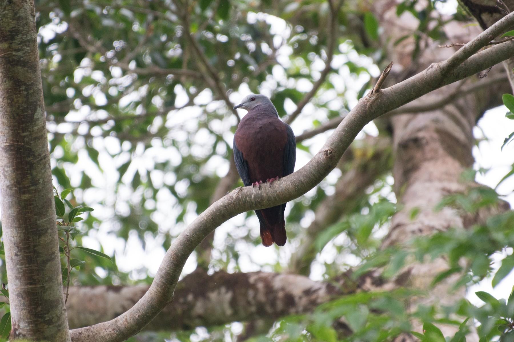 Chestnut-bellied Imperial-Pigeon - John C. Mittermeier
