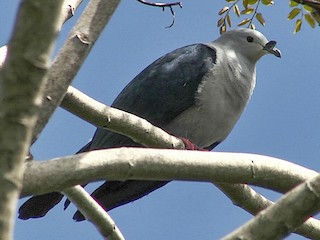 - Polynesian Imperial-Pigeon