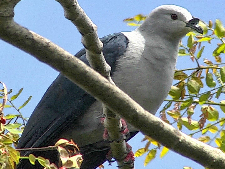 Polynesian Imperial-Pigeon - Josep del Hoyo