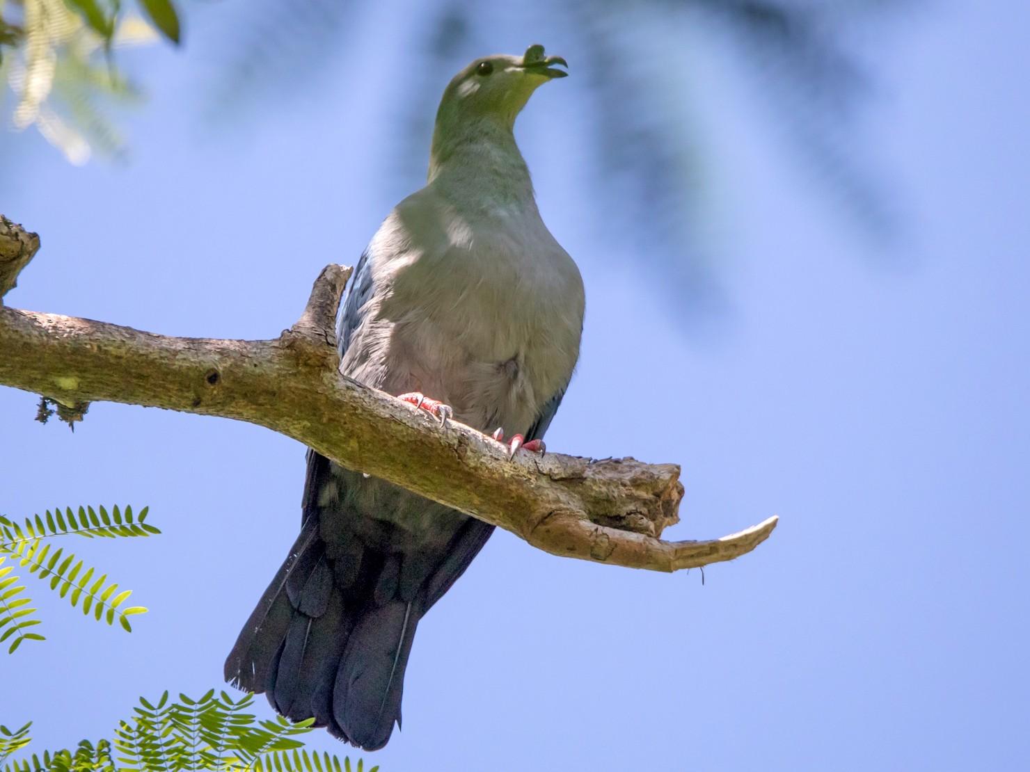Polynesian Imperial-Pigeon - Mike Greenfelder
