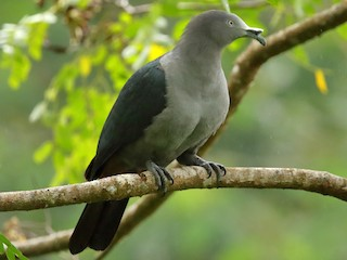 - Marquesas Imperial-Pigeon