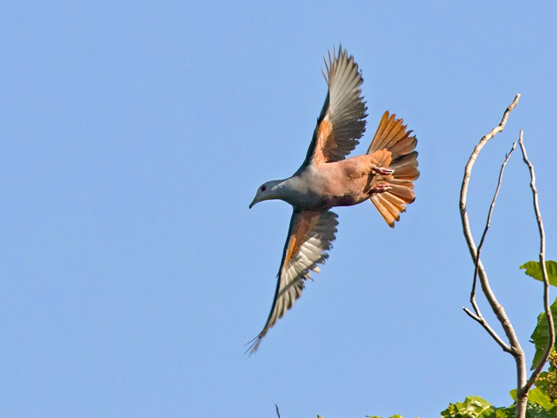 Chestnut-bellied Imperial-Pigeon - Lars Petersson