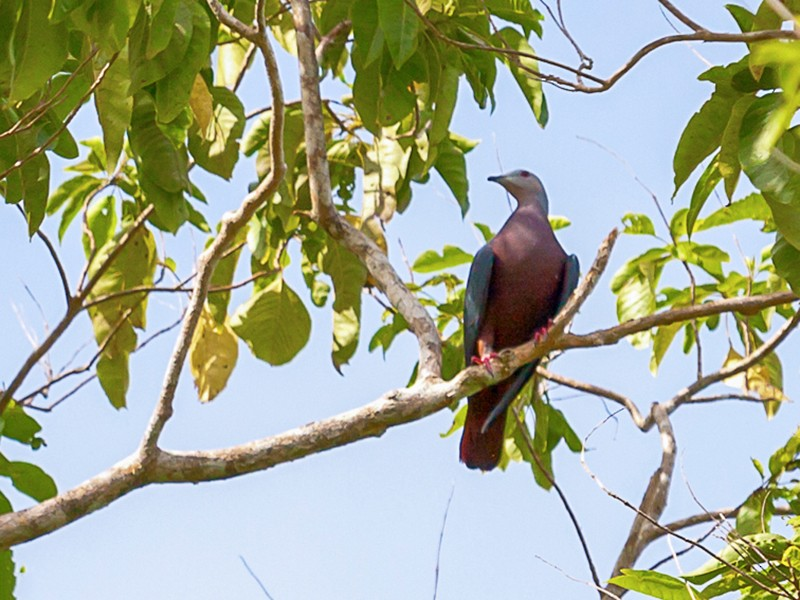 Chestnut-bellied Imperial-Pigeon - Mark Maddock