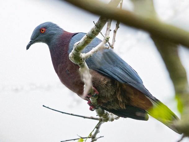 Baker's Imperial-Pigeon - Dubi Shapiro