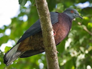 - Baker's Imperial-Pigeon