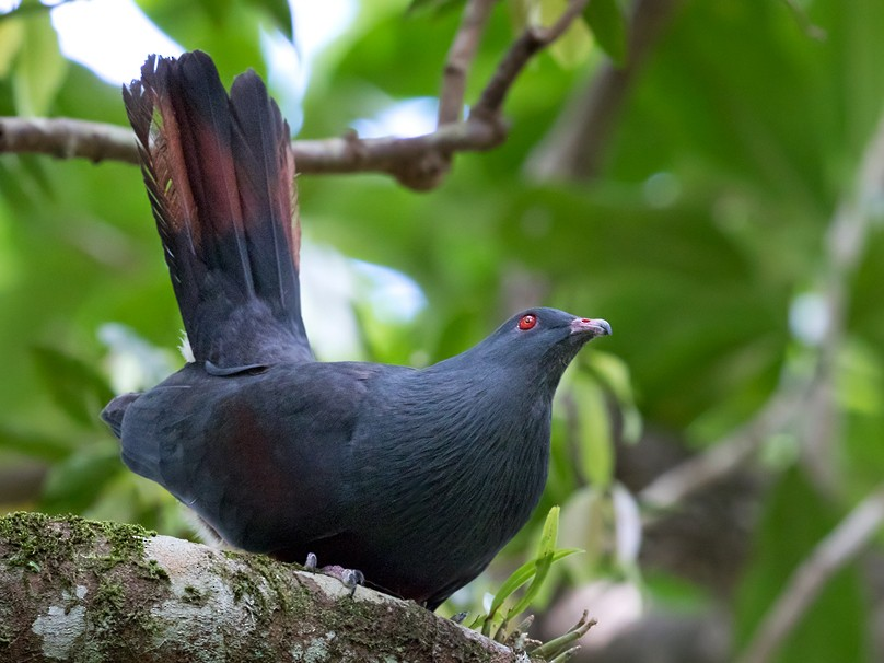 New Caledonian Imperial-Pigeon - Lars Petersson