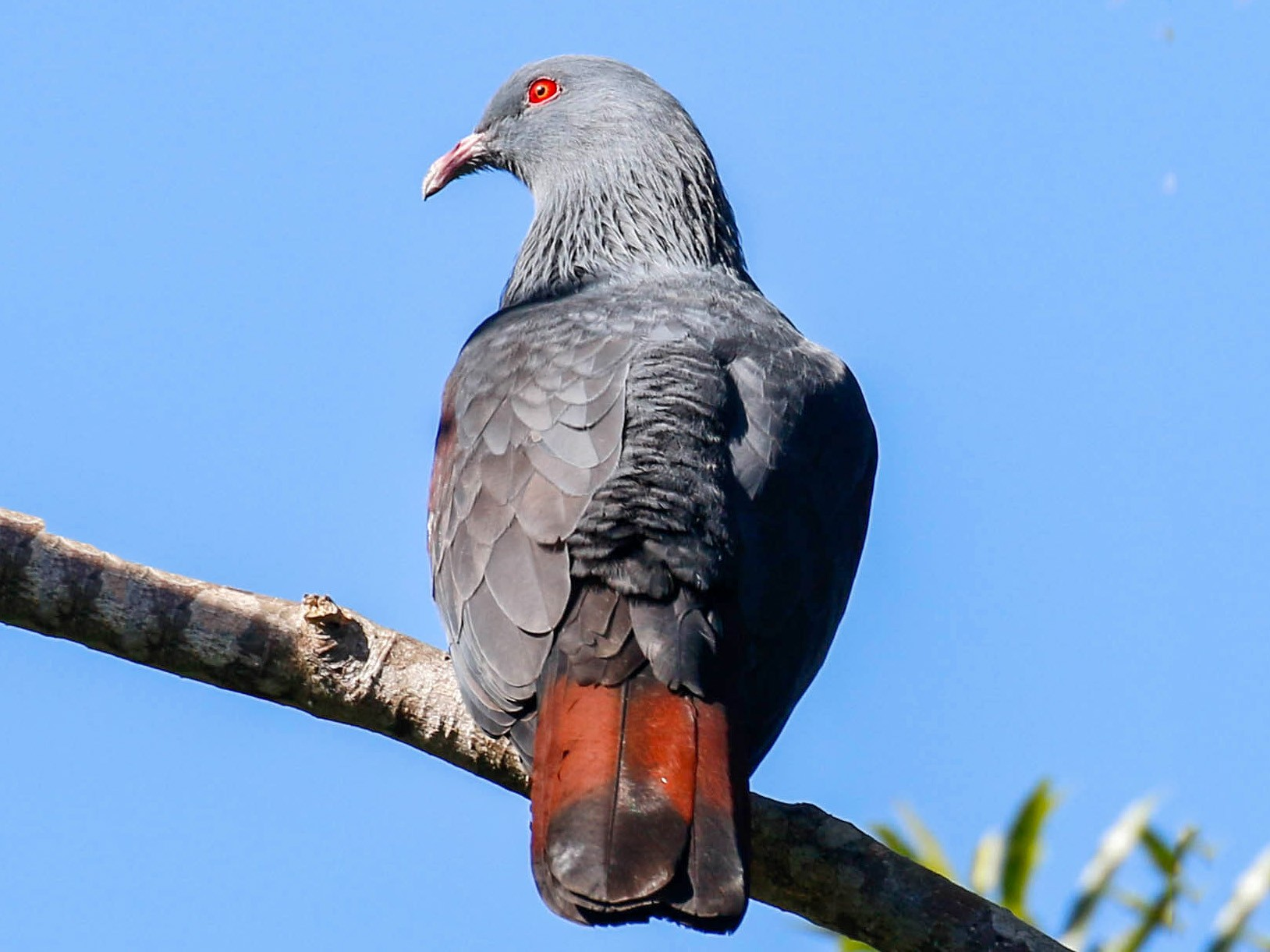 New Caledonian Imperial-Pigeon - Tom Driscoll