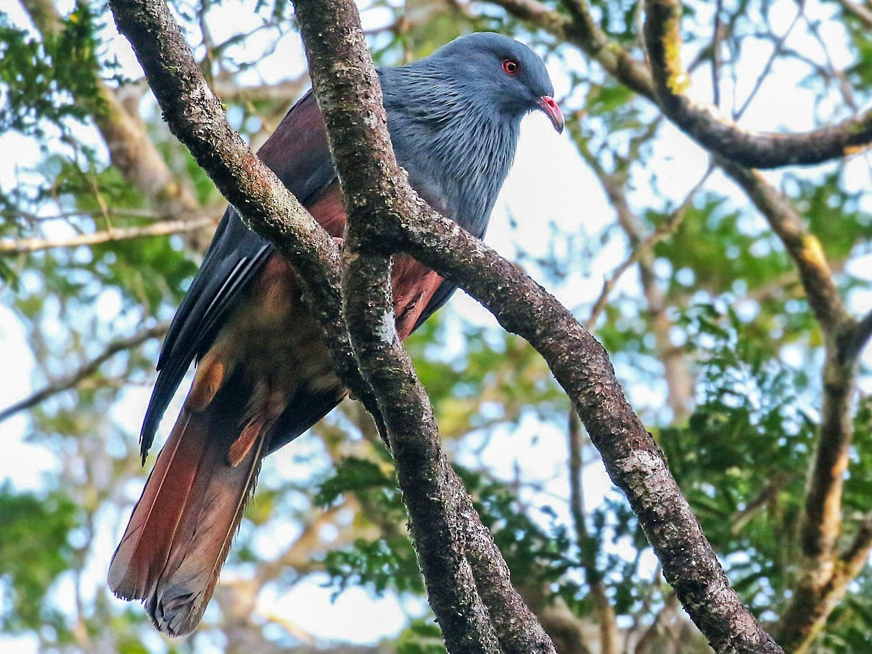 New Caledonian Imperial-Pigeon - Andrew Spencer