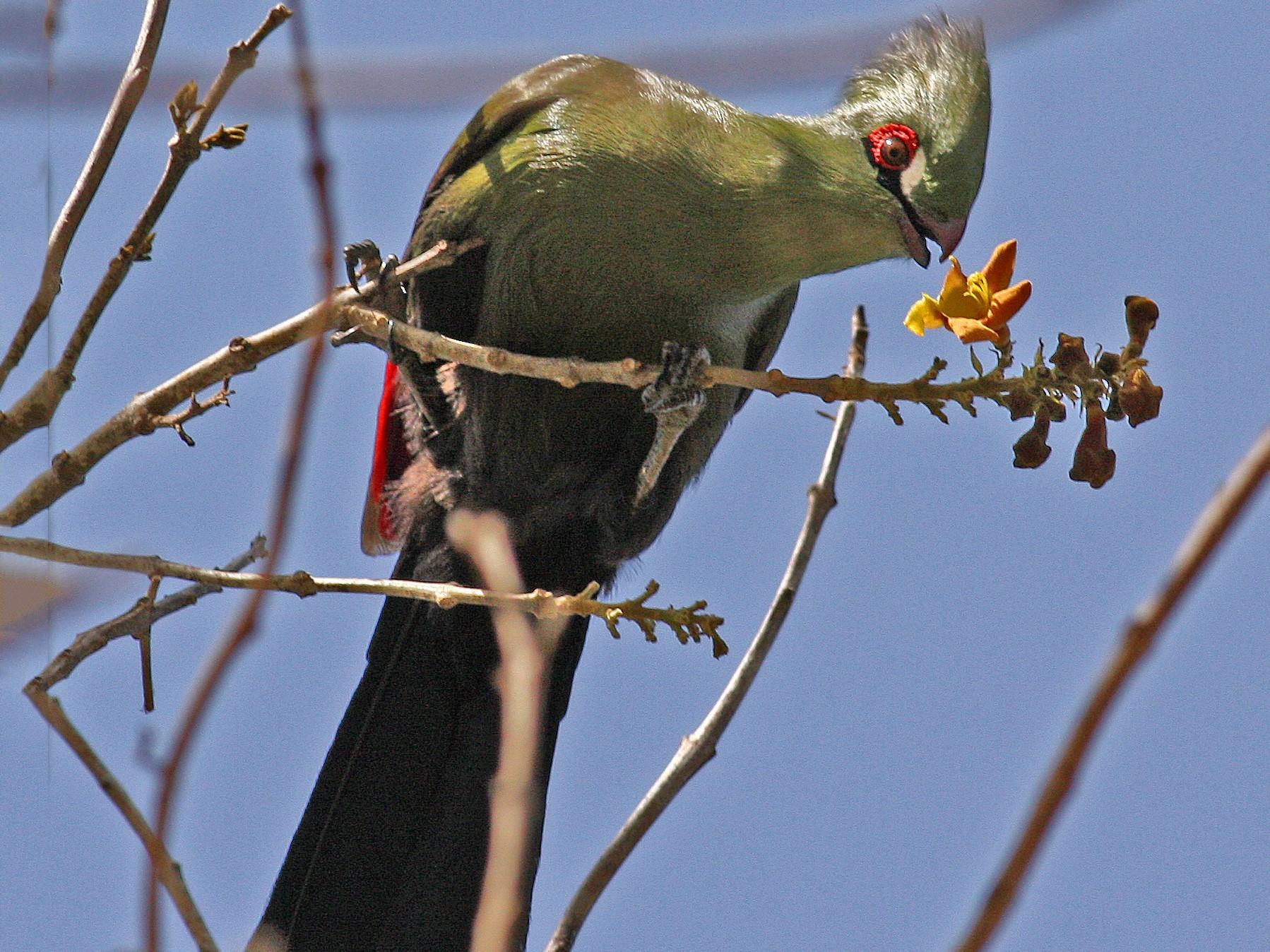 Guinea Turaco - Frans Vandewalle