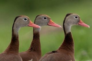 Black-bellied Whistling-Duck, ML344185531