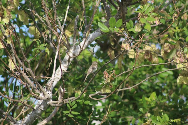 elaenia sp. (genus Elaenia)