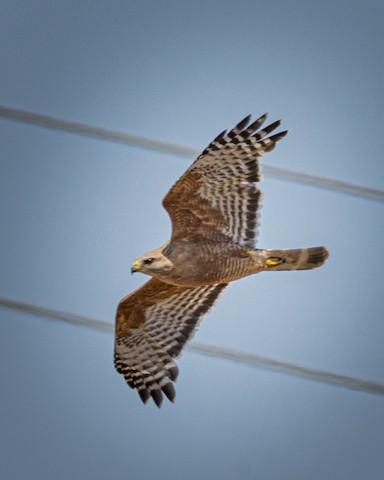 Red-shouldered Hawk - James Kendall