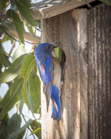 Western Bluebird - James Kendall