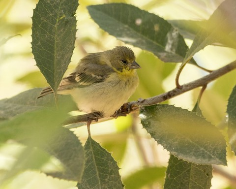 American Goldfinch - James Kendall