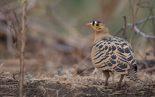 - Four-banded Sandgrouse