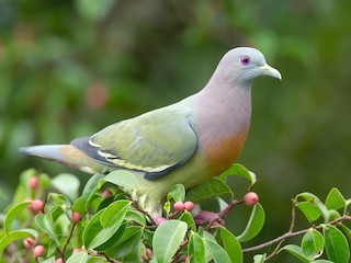 - Pink-necked Green-Pigeon