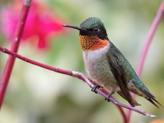 - Ruby-throated Hummingbird