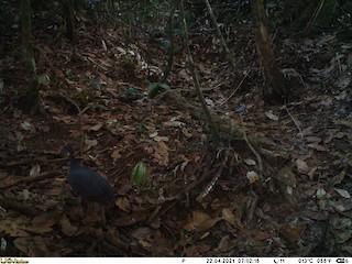 Gray Tinamou, ML345204051