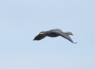 Emperor Goose, ML345273381
