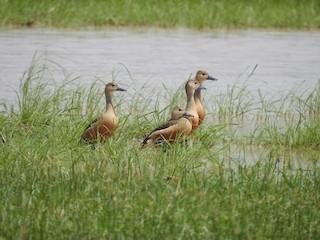 Lesser Whistling-Duck, ML345300261