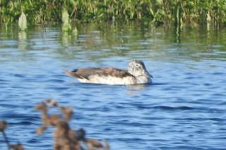 Knob-billed Duck, ML345303091
