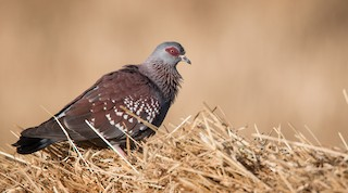 - Speckled Pigeon