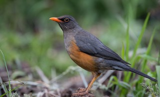 - Abyssinian Thrush (Abyssinian)