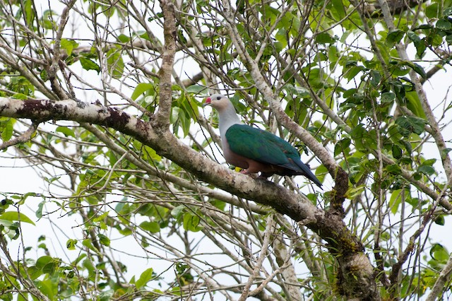 Red-knobbed Imperial-Pigeon